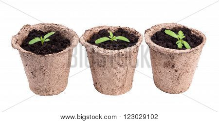 Small Green Seedings In Round Pots