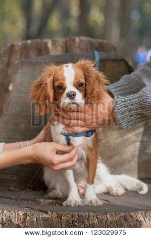cavalier king Charles Spaniel beautiful dog hands