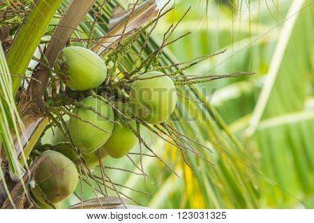 Coconut fruit on the tree in the garden. ** Note: Soft Focus at 100%, best at smaller sizes