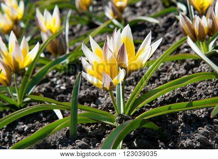 Very special and elegant Liliaceae tulips tarda