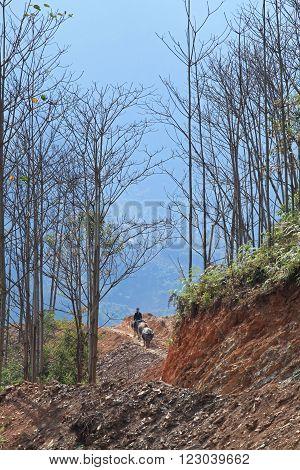 HA GIANG, VIETNAM - FEB 6, 2014: Unidentified minority Hmong boy riding a buffalo for home on a mountain road.
