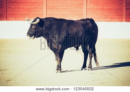 A bull standing in the bullfight with two nailed banderillas