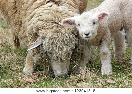 A white woolly sheep grazing in a field on a farm with it's newborn lamb.