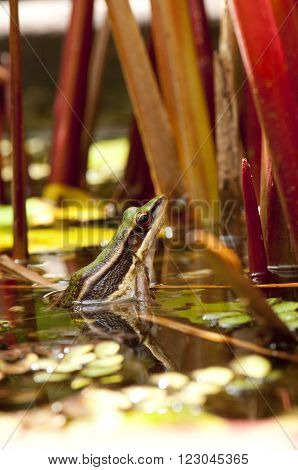 Common greenback frog is looking from water