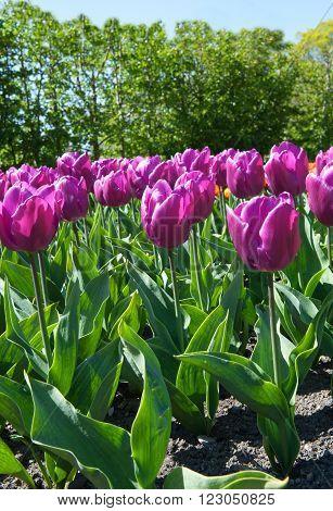 Beautiful tulips in the garden sort Tulipa Negrita from Triumph Group