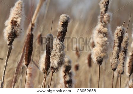 winter, Dried Cattail  with fluff  macro shooting