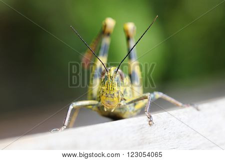 Close up of colorful big locust macro outdoors