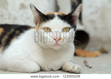 Thailand Cat or calico Looking a Hope