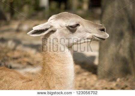 Closeup of the head of a llama