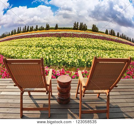 The huge field flowers on kibbutz on the border with Gaza Strip. At the edge of field on a wooden platform are two comfortable sun loungers