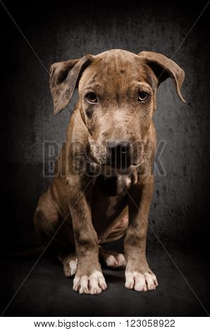 Portrait of a pit bull puppy sitting on black background