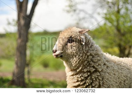 Portrait Of A Clumsy Lamb Standing On Grass