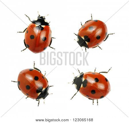 Ladybugs isolated on white background