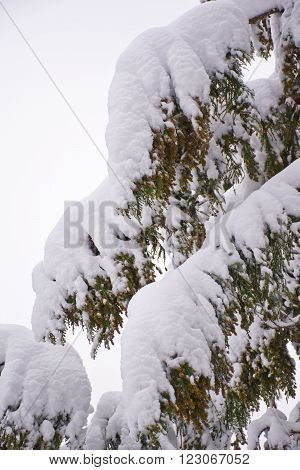Closeup of pine boughs covered with fresh snow.