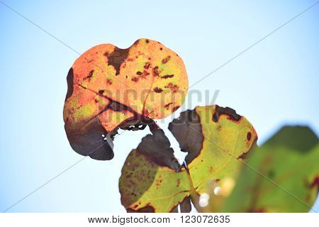 Luminous Sea Grapes at the Beach Against a Bright Blue Sky Background