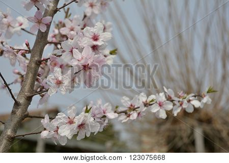 The small pink flower of the Grossa Dolce (or sweet big) almond tree in spring