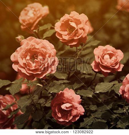 Vintage red roses in garden retro look