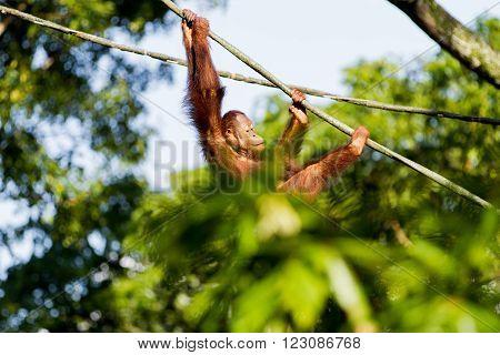Young orangutan climbs the ropes among the trees. Singapore.