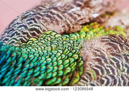 Indian (blue) peafowl or peacock (Pavo cristatus). Details and texture of it's feathers. Close up.