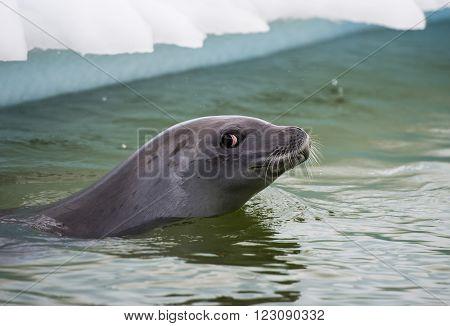 Crabeater seals in the water in Antarctica