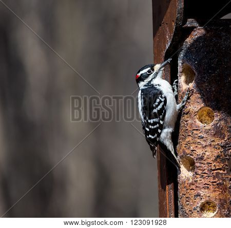 Hairy or Downey Woodpecker in a Boreal Forest in Quebec Canada. ** Note: Soft Focus at 100%, best at smaller sizes