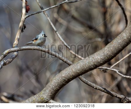 Tufted Titmouse in a Boreal forest Quebec Canada,