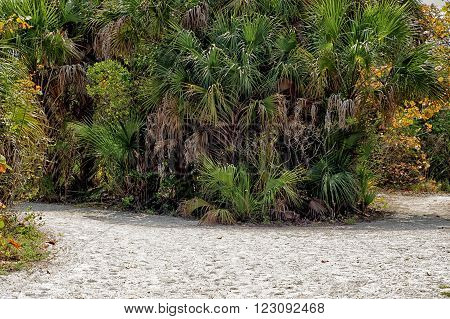 Looking towards a cluster of palm trees and other tropical vegetation on a road made of sand at Barefoot Beach in Bonita Springs / Naples Florida.