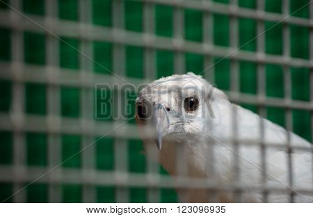 white bellied sea eagle (Haliaeetus leucogaster) in cage