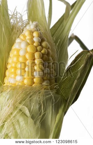 Closeup version of a corn husk being peeled.
