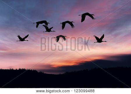 Flock of cranes spring migration over sunset landscape
