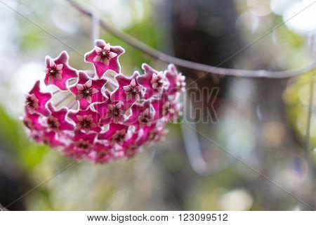 Beautiful wild flower orchid Dendrobium pulchellum Rare species of wild orchids