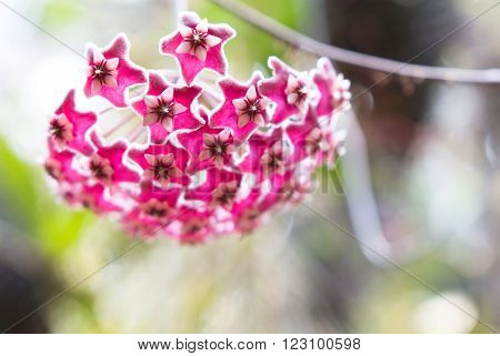 Beautiful wild flower orchid,Dendrobium pulchellum ,Rare species of wild orchids