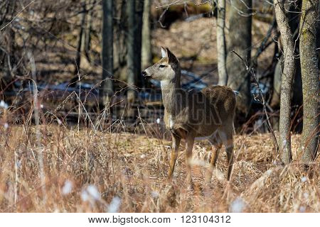 The white-tailed deer, also known as the whitetail, is a medium-sized deer native to the United States, Canada, Mexico, Central America, and South America as far south as Peru and Bolivia.