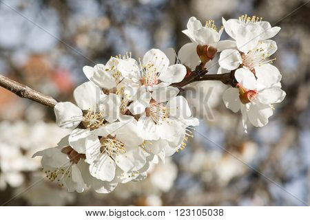 beautiful apple spring blossom tree in nature