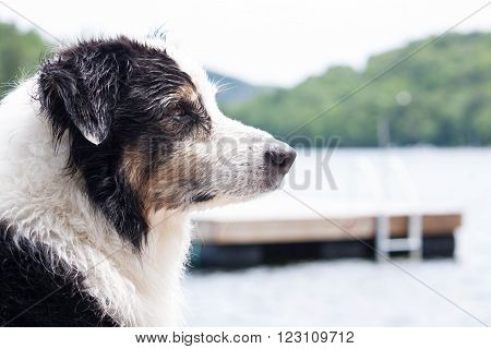 A wet Australian shepherd dog profile with the cottage raft on the lake behind