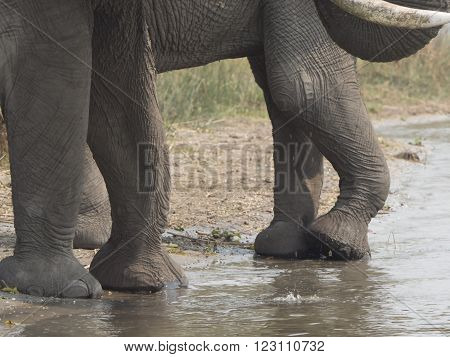 African elephant on the shore of the Malawi lake