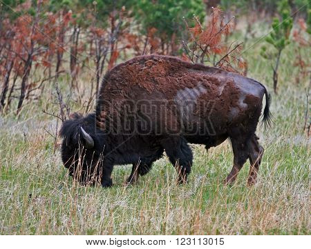 American Bison Buffalo grazing in Custer State Park