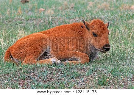 American Bison Buffalo baby calf Custer State Park in the Black Hills of South Dakota USA