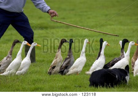 Ducks Being Guided Into Pen