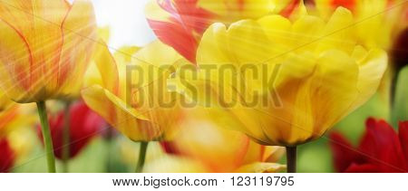 Red and Yellow Patterned Tulips on Sunny Spring Day Highres