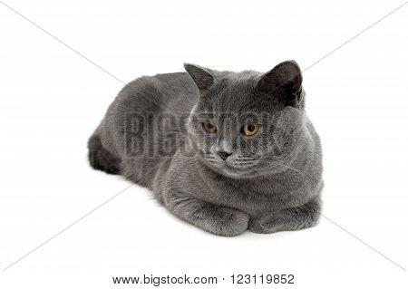 gray cat lying on a white background close-up. horizontal photo.
