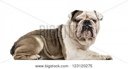 English Bulldog lying down and looking at the camera, isolated on white