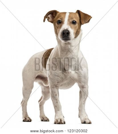 Jack Russell Terrier standing up, isolated on white