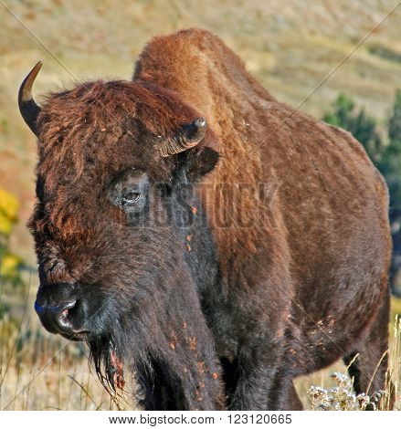One and half horned American Bison Buffalo in Wind Cave National Park in the Black Hills of South Dakota USA