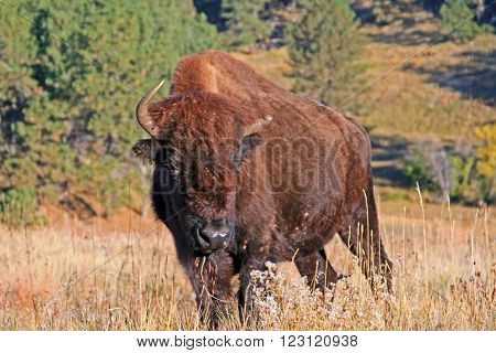 One full horned American Bison Buffalo in Wind Cave National Park in the Black Hills of South Dakota USA