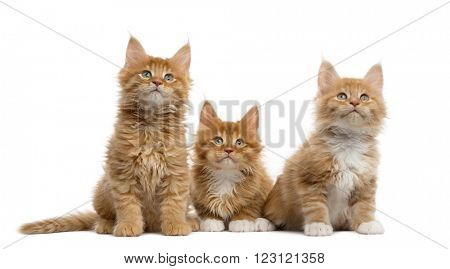 Group of a Red Maine coon kitten looking up, isolated on white