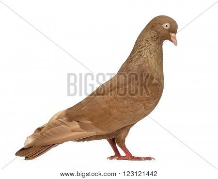 Tumbler belgium pigeon isolated on white