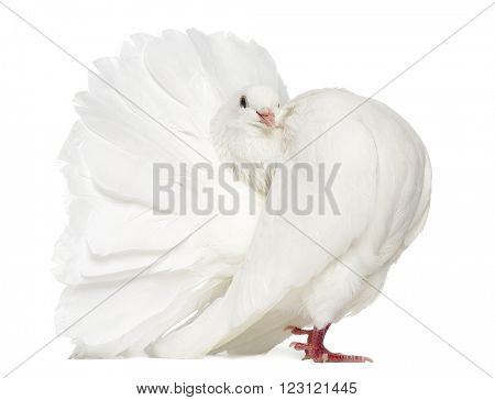 Peacock pigeon isolated on white