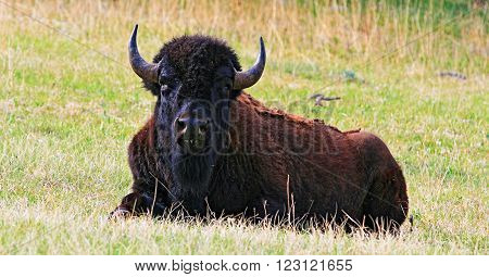 Bison Buffalo resting in Wind Cave National Park in the Black Hills of South Dakota USA