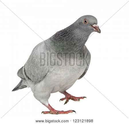 Texan Pioneer Pigeon walking, isolated on white